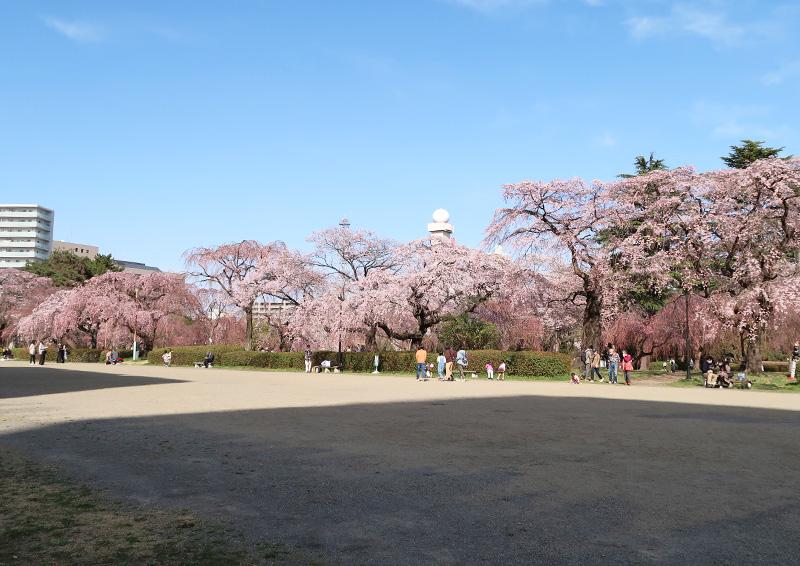 榴岡公園 花見