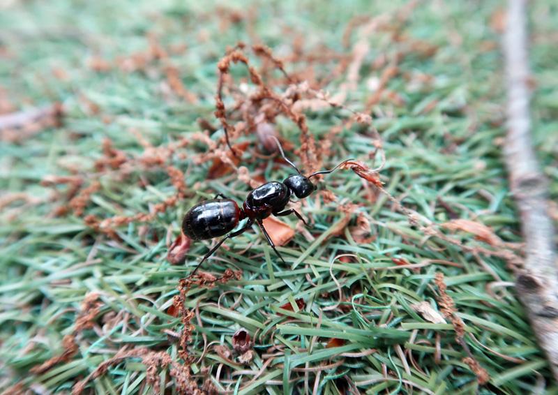 でっかい蟻
